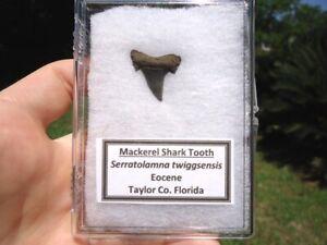 EOCENE MACKEREL SHARK TOOTH SHARKS TEETH LABELED DISPLAY CASE FLORIDA FOSSILS FL