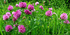 Rotklee - Klee Trifolium Pratense - 1000 Samen  Heilpflanze Futterpflanze 1409