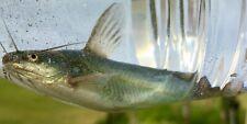 "New listing One Sm 2-3 1/2"" Fresh Water Live Yellow Bullhead Catfish For Pond,Aquarium"