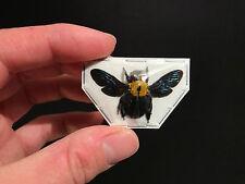 Entomologie / Insecte / Abeille géante Xylocopa confusa d'Indonesie!!