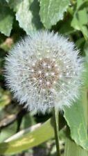 500 x Wildflower Seeds Dandelion Mongol Taraxacum Organic Herbs Grow Garden