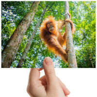 "Orangutan In The Jungle Small Photograph 6"" x 4"" Art Print Photo Gift #3539"