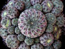 Rebutia Rauschii  cactus vástago planta 1 unidad