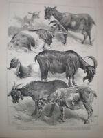 The Goat Show at the Crystal Palace H Weir 1883 old print