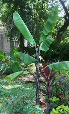 Musa Balbisiana Atia Black, 10 Seeds Cold Hardy Thai Banana Fruit Tree