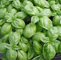BASIL, SWEET GENOVESE, 25 SEEDS HEIRLOOM, ORGANIC,, GREAT FRESH OR DRIED HERB