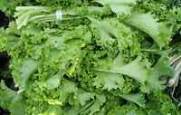 Spinach - Mustard Tender Vegetable Seeds Heirloom select QTY