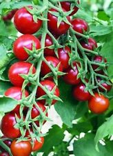 Seeds Tomato Vishenka Red Vegetable Organic Heirloom Russian Ukraine