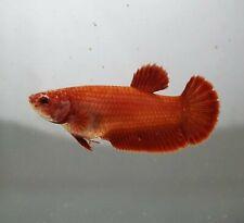 BETTA FISH SUPER RED HALF MOON PLAKAT(HMPK) FEMALE