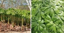 10 Mayapple Plants Rhizomes Roots Medicinal Herb Perennial Replant Wildflower