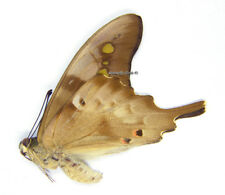 Unmounted Butterfly/Papilionidae - Graphium empedovana empedovana, M, Indonesia