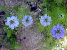Nigella Damascena Seeds - MISS JEKYLL BLUE - Love in a Mist - Annual - 50 Seeds