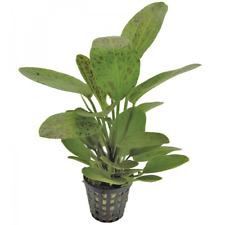 Live Tropical Aquarium Background Plants Echinodorus ozelot green Amazon Sword