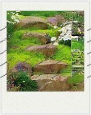 Sagina Subulata MOSS Seeds 25pcs/bag