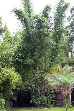 10 x Bambusa oldhamii 100mm pots Clumping bamboo. Screening hedging.plants