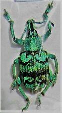 Aru Island Blue & Black Snout Beetle Eupholus chevrolati FAST FROM USA