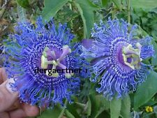 BLUE Passiflora Temptation seeds Passionflower climber 25 seeds