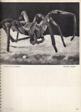 Photogravure - 1935 - James M.Leonard - Wolfe Spider