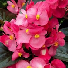 A 50 wax begonia seeds OREB H nice pink blooms, blooming until the frosts