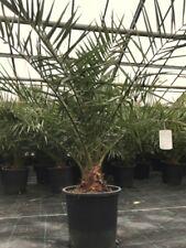 Kanarische Dattelpalme  Phoenix canariensis  Palme frosthart - 8°C
