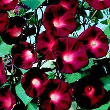 Ipomoea - Kniolas Black Knight - Appx 100 seeds Annual