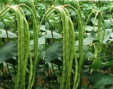 Green Long Bean, 10+ SEEDS.