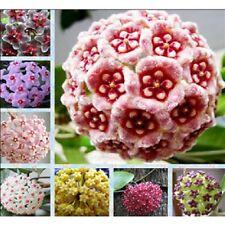 300Samen wunderschöne Porzellanblume Wachsblume Samen Hoya freie Farbwahl
