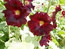 2,000  Hollyhock Seeds  SPECIAL LISTING BULK PACK / 2017 seeds scatter late fall