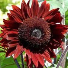 SUNFLOWER, RED SUN, 100 SEEDS ORGANIC, BEAUTIFUL BRIGHT RED BLOOMS