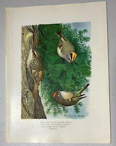 Fuertes 1902 Antique Print: THRUSH, BIRD, NYS FOREST COMMISS. 7th Ed.