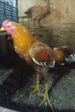 SIX (6) Brazilian Asil Hatching Eggs