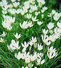 BRIGHT WHITE RAIN LILIES  SET OF  50 BULBS