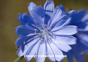 Wildflower : CHICORY (1500 Seeds)  SUCCORY, WILD SUCCORY  Cichorium intybus