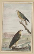 BUFFON ORIGINALE UCCELLI BIRDS UCCELLO SAN MARTINO PECCHIAIOLO HONEY BUZZARD 850