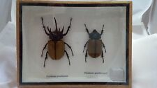 Real Eupatorus Gracilicornis 5 Horn Rhino Beetle Insects Taxidermy in Wood Box