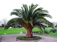 50 Seeds - Canary Island Date Palm - Phoenix canariensis