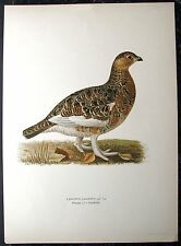MOORSCHNEEHUHN. Vogel. Große Chromolitho WRIGHT 1928 (38cmx27cm)
