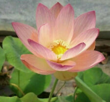 1 Beautiful Dancer Lotus Tuber NOT a Seed!  Live Plant ~ Will Bloom this Season