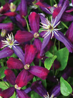 "Fragrant Live Plant Sweet Summer Love Clematis Long Blooming 4"" Pot Garden"