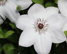 White Clematis Hybrid ' Miss Bateman' Large Flowering Plug Plant climbing shrub