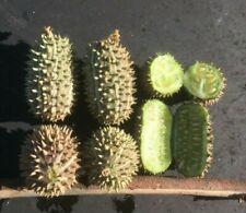 DECORATIVE CUCUMBER - 20 seeds - cucumis africanus - Exotic vegetable