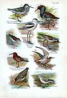 1908 Uccello Stampa ~ Greenshank Avocet Ruff Dunlin Nodo Curlew Sandpiper