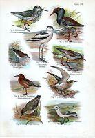 1908 Uccello Stampa ~ Greenshank Avocet Ruff Dunlin Nodo Curlew Sandpiper