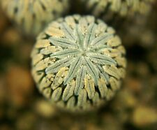 PELECYPHORA ASELLIFORMIS =1/3= cacti 仙人掌 กระบองเพชร kakteen #4887
