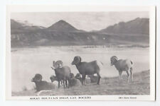 Rocky Mountain Sheep CANADIAN ROCKIES Alberta 1940-50s Rowed Real Photo Postcard
