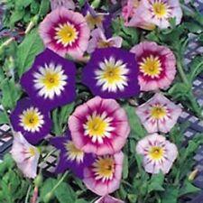 Convolvulus - Minor Tricolour - 100 Seeds