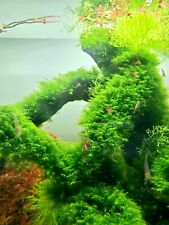 Sale! Fissidens Fontanus 2*2 patch aquarium live plant moss A plus quality