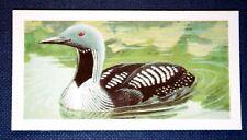 BLACK THROATED DIVER    Superb Vintage Colour Card