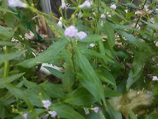 Justicia pectoralis Plant - Tilo Mashi Hiri - Smoke Herb - Shaman Medicinal