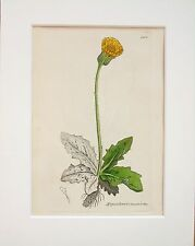 Yellow Cats-Ear - Sowerby 1800s Mounted Antique Botanical Print Hand Coloured